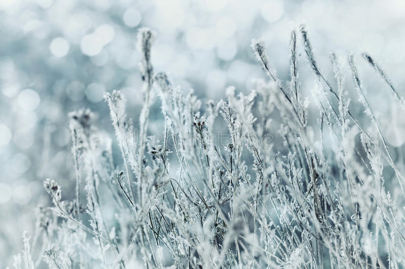 Winter landscape or background of blue flowers in the snow and frost on a cold day. Macro nature. Beautiful snowbound meadow. royalty free stock image