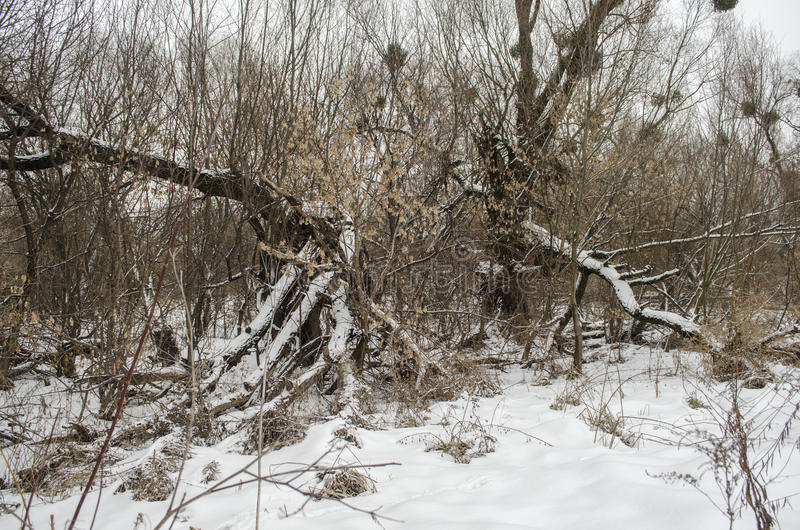 Winter landscape. With broken old trees royalty free stock photo