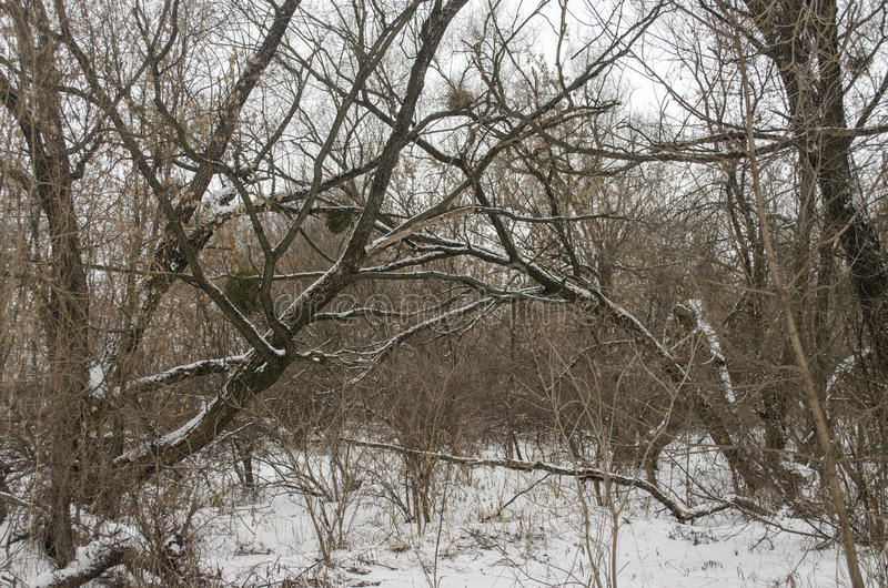 Winter landscape. With broken old trees royalty free stock photography