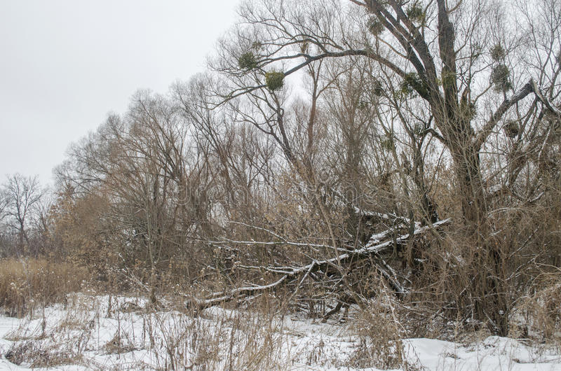 Winter landscape. With broken old trees stock images