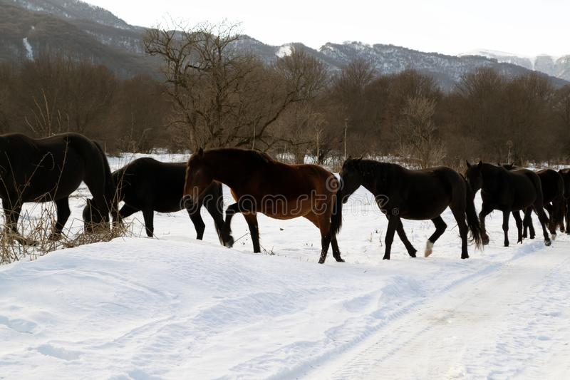Winter landscape. Brown horses walk in the white snow in the mountains stock photos