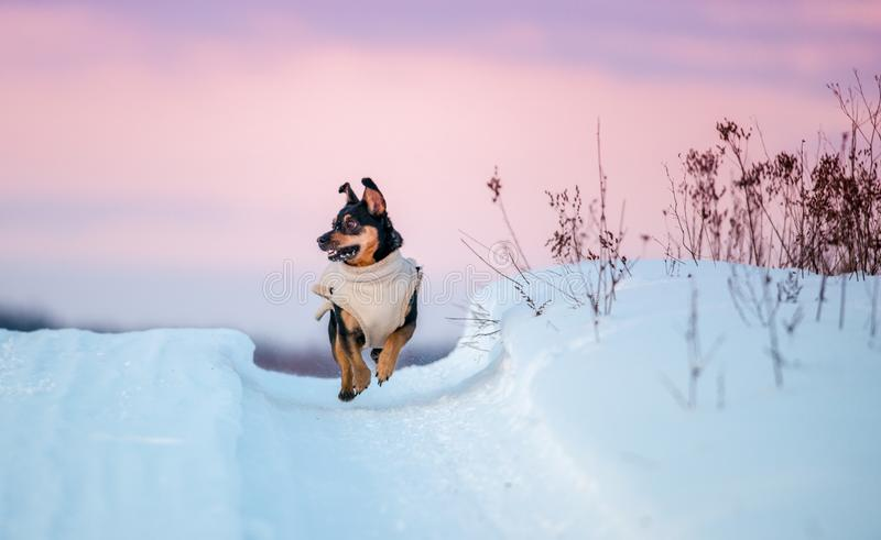 Winter landscape, dog running. Purple sunset sky royalty free stock photo