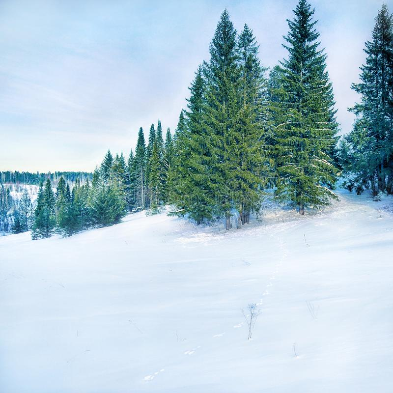 Winter landscape with hare track. Winter landscape with fir tree, snow field and hare track. Copy space for text royalty free stock images