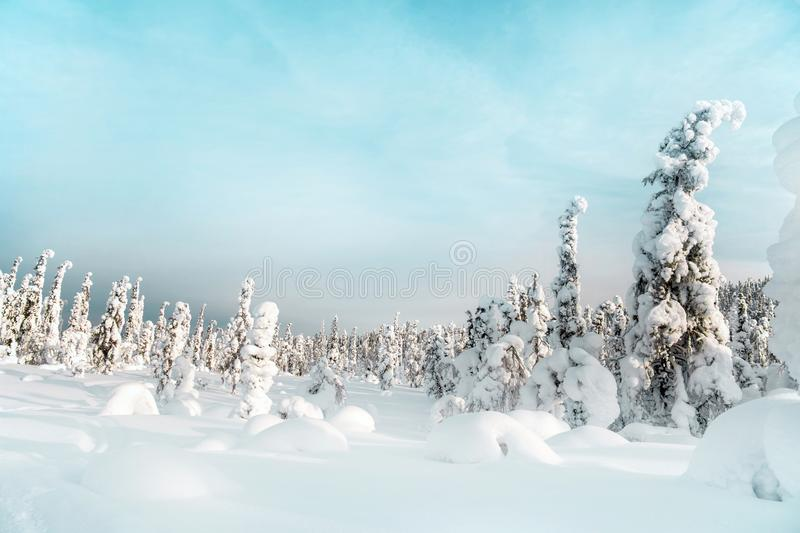 Winter landscape with firs. Mount Kivakka. Russia stock images