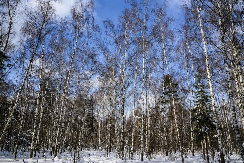 Winter landscape in a forest park on a sunny frosty day against a blue sky. Russia. stock photography