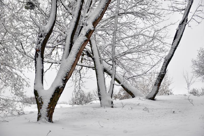 Winter landscape - forest snowy winter trees in cloudy winter weather. Winter nature tranquil scene, winter trees covered with snow in the winter forest royalty free stock image