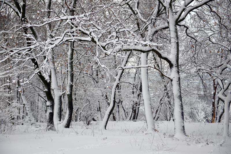 Winter landscape - forest snowy winter trees in cloudy winter weather. Winter nature tranquil scene, winter trees covered with snow in the winter forest royalty free stock images