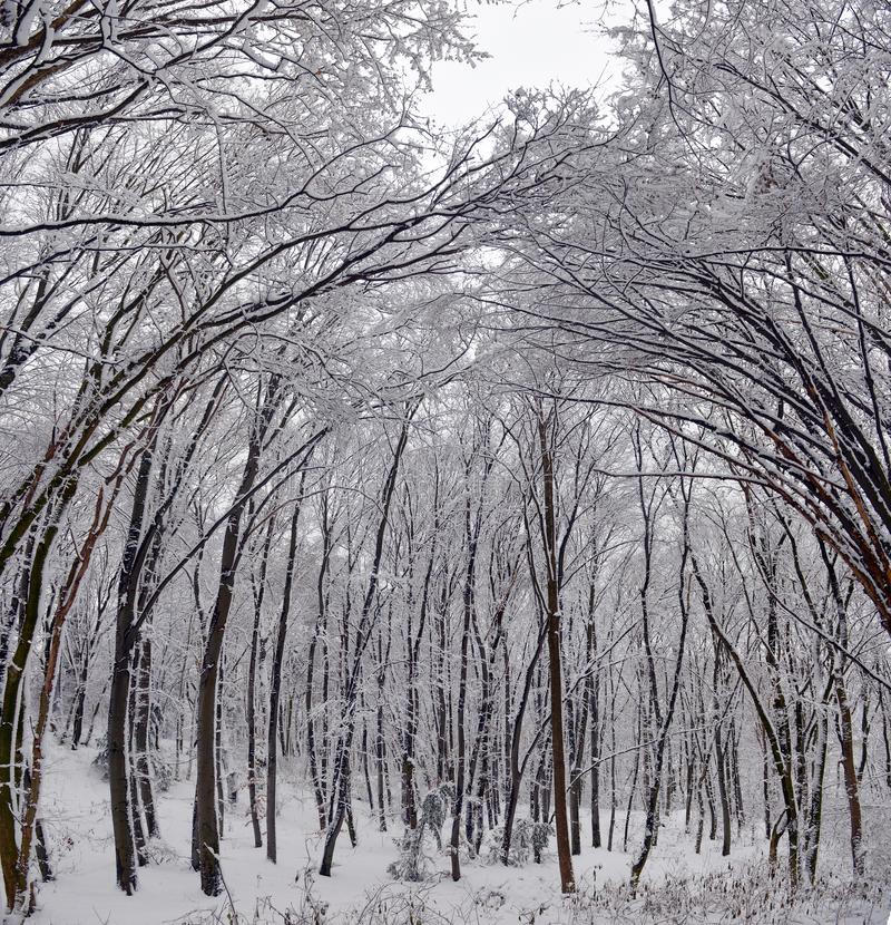 Winter landscape - forest snowy winter trees in cloudy winter weather. Winter nature tranquil scene, winter trees covered with snow in the winter forest stock photos