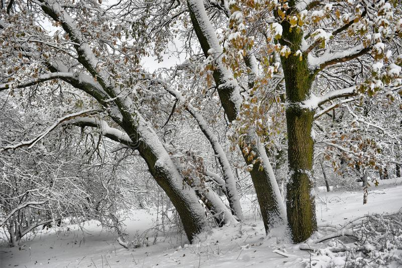 Winter landscape - forest snowy winter trees in cloudy winter weather. Winter nature tranquil scene, winter trees covered with snow in the winter forest stock photography