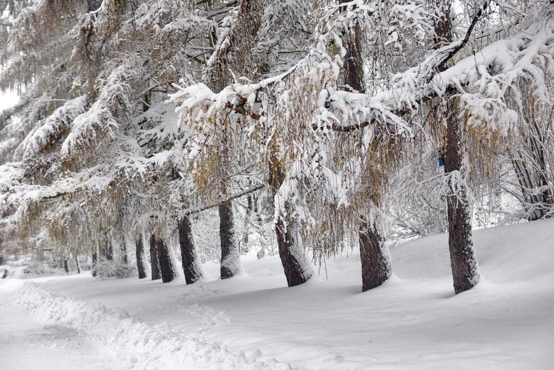 Winter landscape - forest snowy winter trees in cloudy winter weather. Winter nature tranquil scene, winter trees covered with snow in the winter forest stock images
