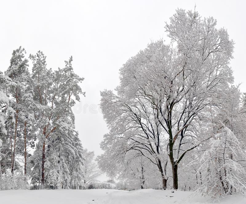 Winter landscape - forest snowy winter trees in cloudy winter weather. Winter nature tranquil scene, winter trees covered with snow in the winter forest stock image