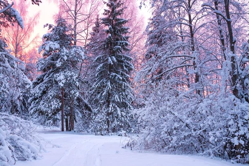 Winter landscape with forest, trees and sunrise. Beautiful winter landscape with forest, trees and sunrise. winterly morning of a new day. purple winter stock image