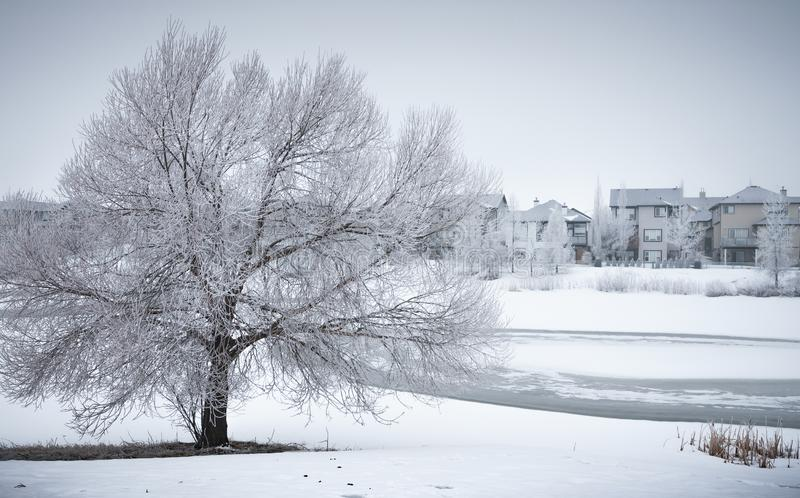 Winter Landscape with frosty tree in neighborhood park. A frosty day in a neighborhood park with a stunning bare tree covered in hoar frost in a snowy field. The stock photo