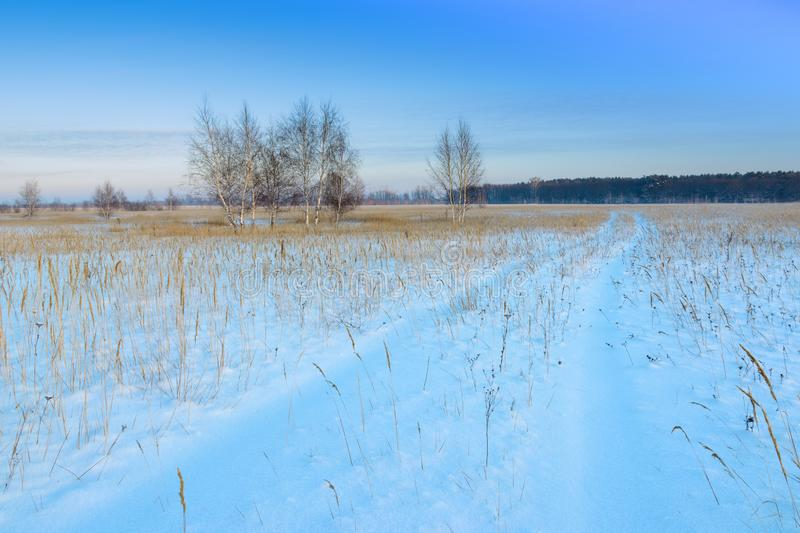Winter landscape. A group of birches against the backdrop of a forest, a snow-covered field and blu sky. Traces of cars royalty free stock image