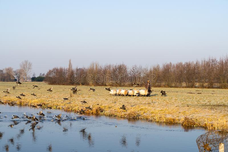 Winter landscape with group of sheep and coots flying into water. A winter landscape with a group of sheep and a shepherd plus dog and coots flying into water stock photography