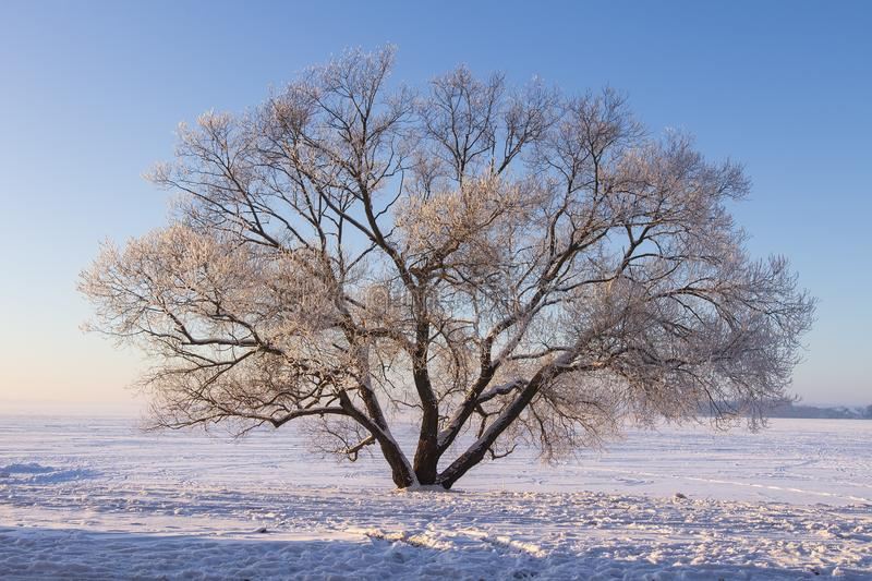 Winter landscape of large tree on snow on clear sunny morning with blue sky. Beautiful nature in december. Christmas background stock photo