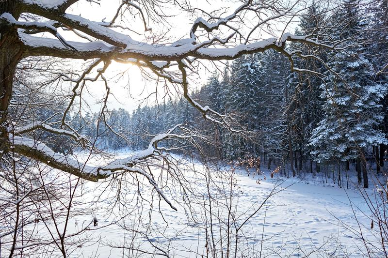 Winter landscape, oak branches covered with snow against the background of fir trees royalty free stock image