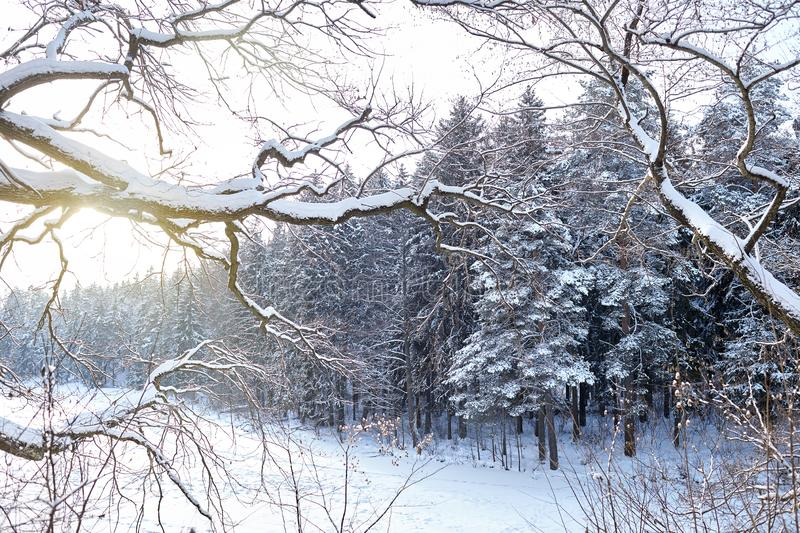 Winter landscape, branches covered with snow against the background of fir trees and frozen forest lake stock photography
