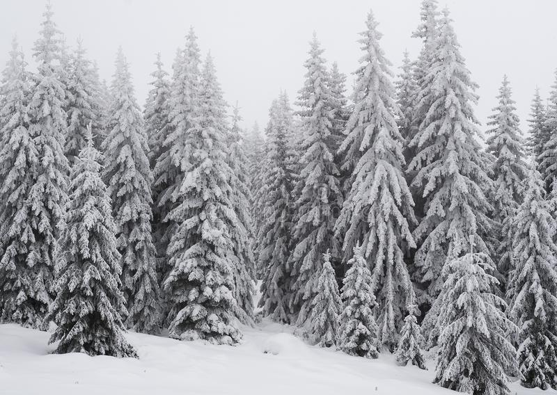 Winter landscape of a pine forest in the mountains. Trees are very tall and covered with fresh snow. royalty free stock photos