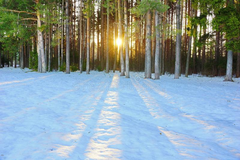 Winter landscape in a pine forest the sun shines through the trees shadows in the snow royalty free stock photo