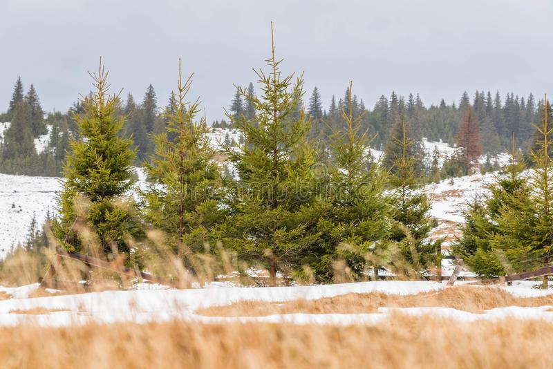 Download Winter Landscape With Pine Trees Stock Image - Image of christmas, winter: 105037533