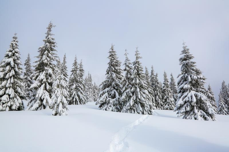 Winter landscape. Pine trees stand in snow swept mountain meadow. Footpath leads to the mysterious foggy forest. Touristic place. stock image