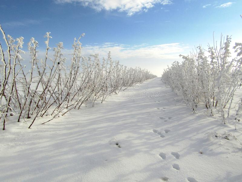 Winter landscape of raspberries plantation with traces of animals, rabit footprints on snow surface. stock image