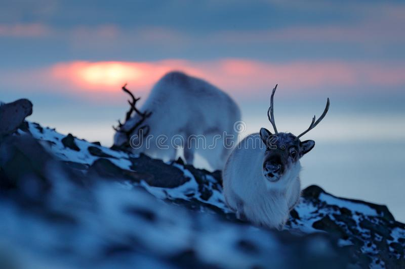 Winter landscape with reindeer. Wild Reindeer, Rangifer tarandus, with massive antlers in snow, Svalbard, Norway. Svalbard deer on. Rocky mountain. Wildlife stock photo