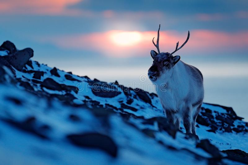 Winter landscape with reindeer. Wild Reindeer, Rangifer tarandus, with massive antlers in snow, Svalbard, Norway. Svalbard deer on. Rocky mountain. Wildlife stock photos