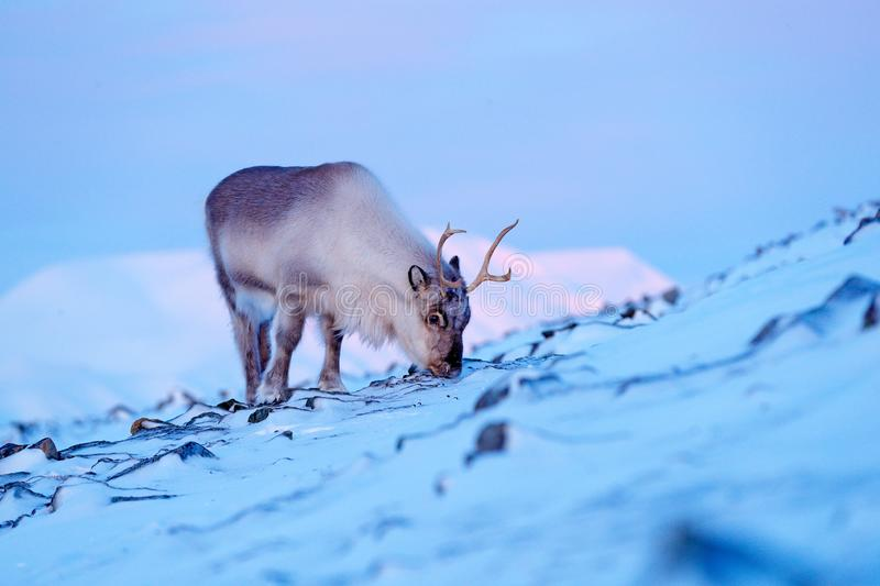 Winter landscape with reindeer. Wild Reindeer, Rangifer tarandus, with massive antlers in snow, Svalbard, Norway. Svalbard deer on. Rocky mountain. Wildlife royalty free stock images