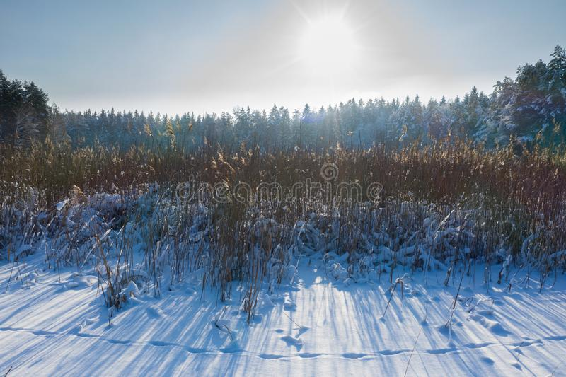 Winter landscape scene background with snow covered trees, ice lake and reeds. Beauty sunny winter backdrop. Frosty trees and reed stock photography