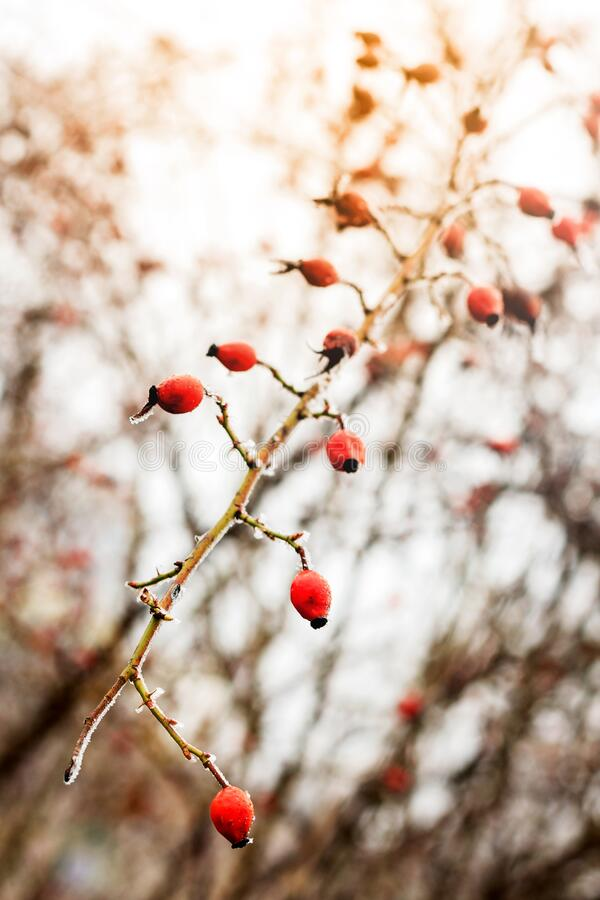 Winter landscape.Winter scene .Frozenned flower selective focus. Rose hip in frost. Winter landscape background.Winter scene with sun flare.Frozenned flower royalty free stock photography