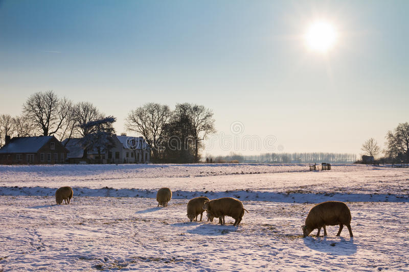 Download Winter landscape sheep stock photo. Image of december - 26031296