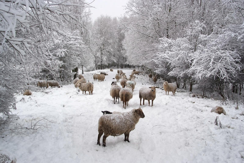 Download Winter Landscape With Sheep And Snow Stock Photo - Image: 20299100