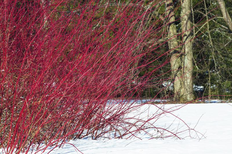 Winter landscape with a shrub of red willow. With long rods among the snow royalty free stock photo