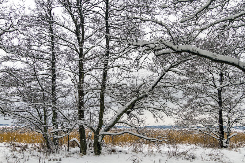 Winter landscape with snow, alder trees and common reed in Norway, Fredrikstad. Ora Nature Reserve stock images
