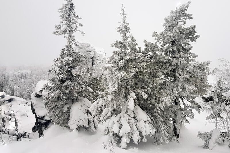 Winter landscape. Snow covered Christmas trees on the mountain royalty free stock photos
