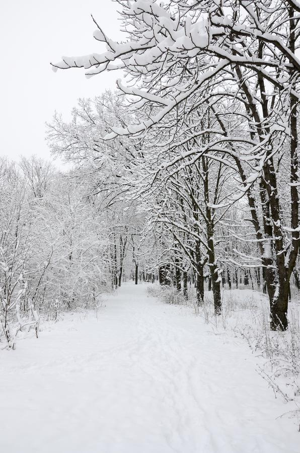 Winter landscape in a snow-covered park after a heavy wet snowfall. A thick layer of snow lies on the branches of trees.  royalty free stock photo