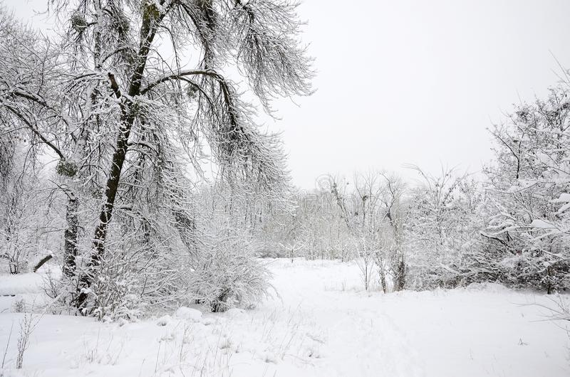 Winter landscape in a snow-covered park after a heavy wet snowfall. A thick layer of snow lies on the branches of trees.  stock photo