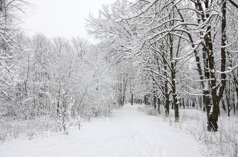 Winter landscape in a snow-covered park after a heavy wet snowfall. A thick layer of snow lies on the branches of trees.  royalty free stock photography