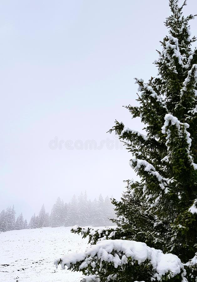 Winter landscape, snow, pines with a filtered light. royalty free stock image