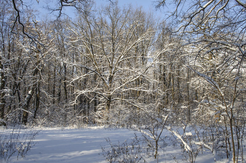 Winter landscape. Of snowy forest royalty free stock image