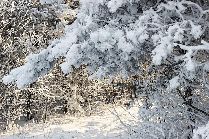 Winter landscape. Snowy nature. Snow-covered forest. Christmas weather royalty free stock photography