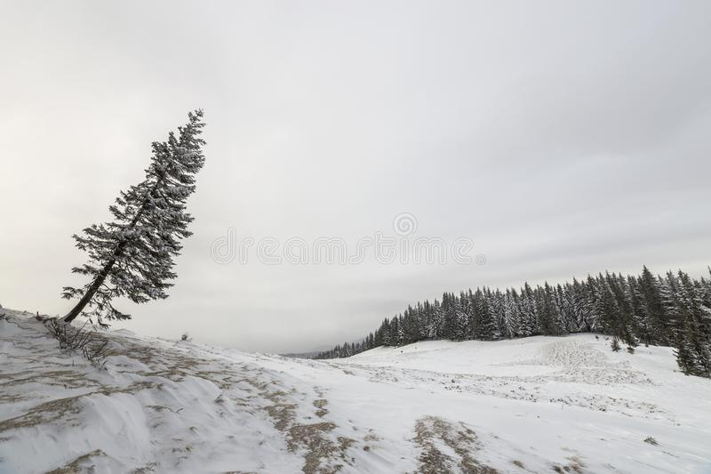 Winter landscape. Tall pine tree alone on mountain slope on cold sunny day on copy space background of blue sky and spruce forest.  stock photos