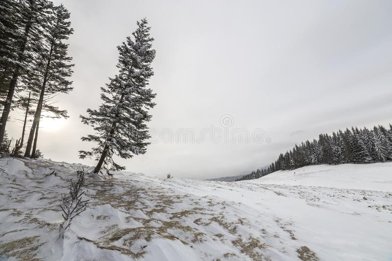 Winter landscape. Tall pine tree alone on mountain slope on cold sunny day on copy space background of blue sky and spruce forest.  royalty free stock photography