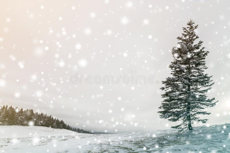 Winter landscape. Tall pine tree alone on mountain slope on cold sunny day on copy space background of blue sky and spruce forest.  stock image