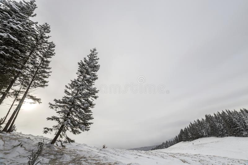 Winter landscape. Tall pine tree alone on mountain slope on cold sunny day on copy space background of blue sky and spruce forest.  stock photography