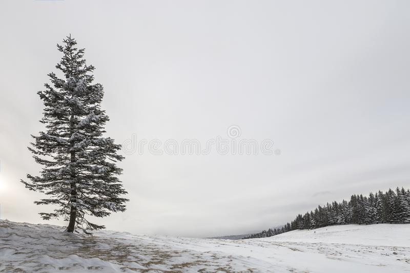 Winter landscape. Tall pine tree alone on mountain slope on cold sunny day on copy space background of blue sky and spruce forest.  stock images
