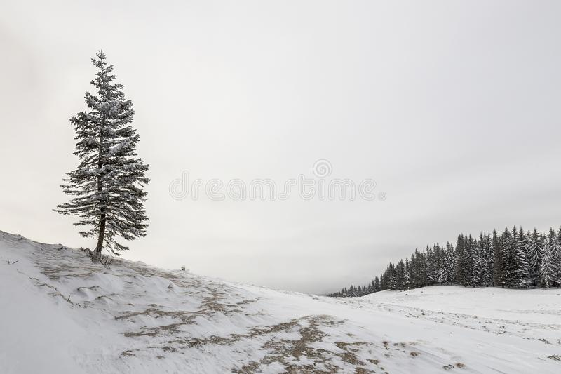 Winter landscape. Tall pine tree alone on mountain slope on cold sunny day on copy space background of blue sky and spruce forest.  royalty free stock image