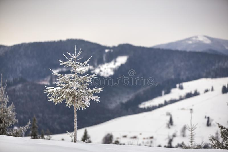 Winter landscape. Tall pine tree alone on mountain snowy slope on cold sunny day on blurred background of dense spruce forest.  royalty free stock images